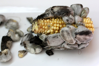 Huitlacoche photo
